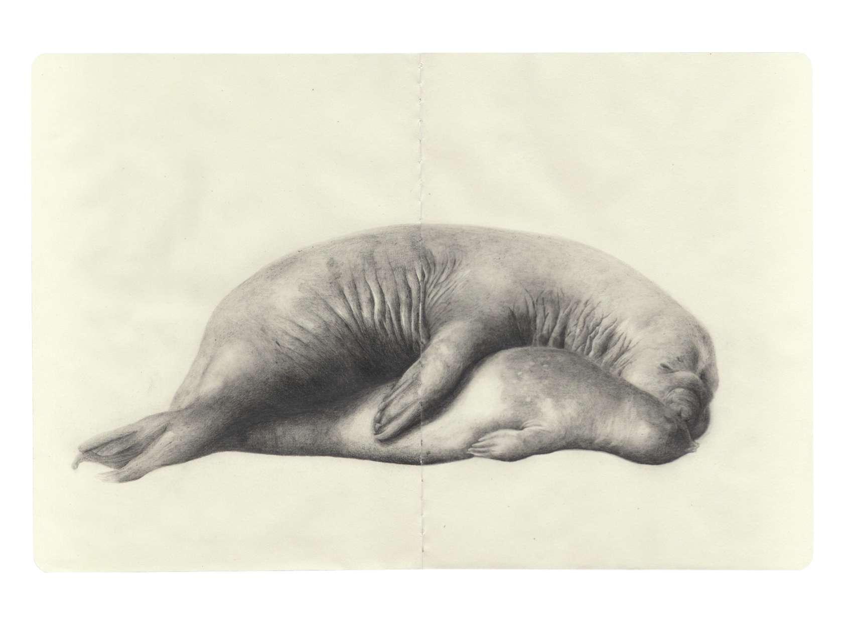 Laurent Le Deunff, Rut (élephants de mer), 2011 Crayon sur papier Moleskine25 x 38 cm / 9 7/8 x 15  inches